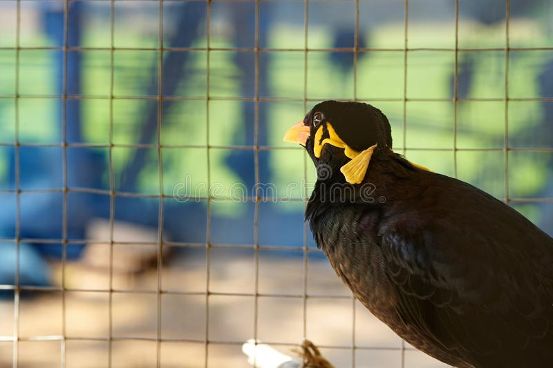 Hill myna in cage in alone prison detain or confine or democracy concept royalty free stock images