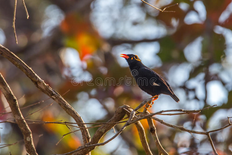 Hill myna calling. Canon 6D 450mm ISO 800 1/400 f5.6 Hill myna sighted in western ghats forests of India stock photo