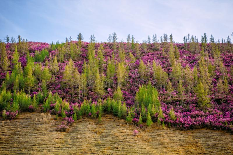 Hill overgrown with young green pine trees and purple bushes. Wild azaleas on the slopes of mountains. Spring bloom stock photos