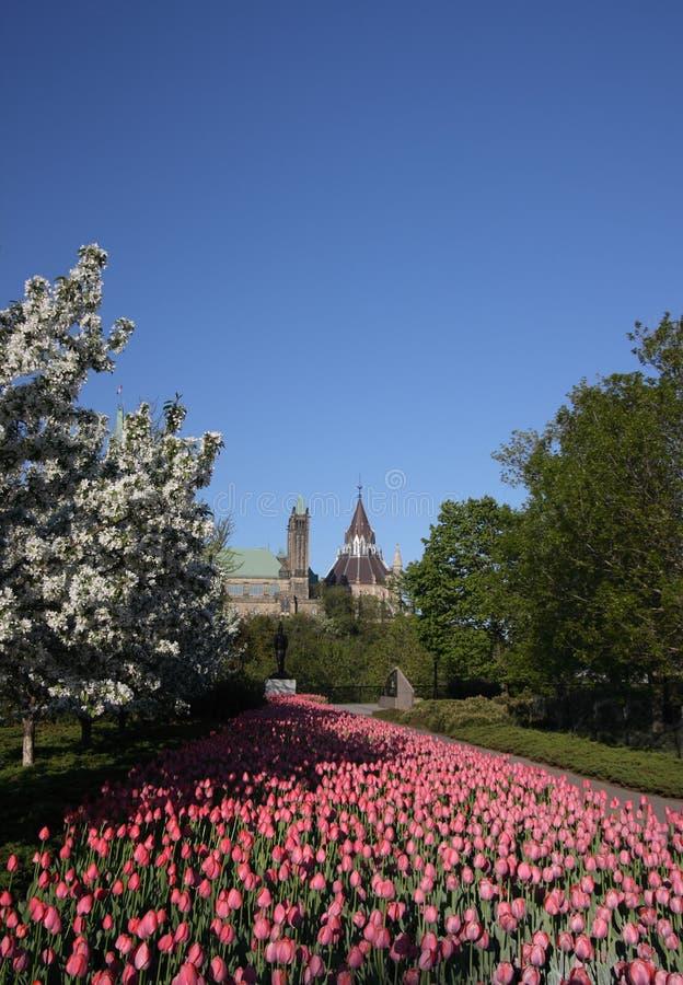 hill park jest różowego major tulipan obraz stock