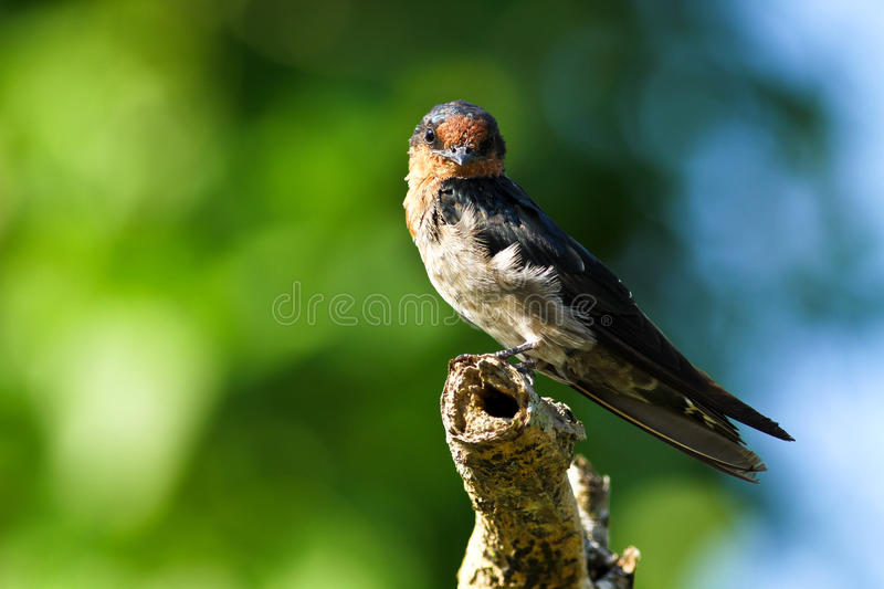 Download Hill Swallow (Hirundo Tahitica) Series IX Stock Image - Image: 21359199