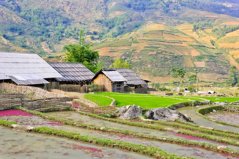 Hill tribe of rice crops. Landscape of rice crops in Sapa, Vietnam stock photo