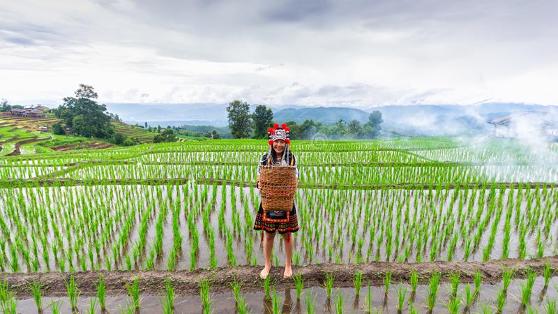 The hill tribe women in the landscape, mountains and fields have green trees at sunrise. Hill tribe woman in the landscape, mountains and fields have green trees stock photo