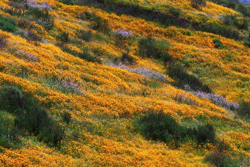 Hills of California Golden Poppy. Abundance of California Golden Poppy on the hillside of Diamond Valley Lake, CA stock image