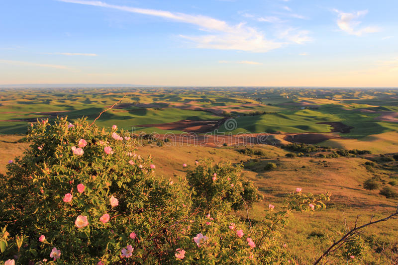 Download Hills Of Palouse With Wild Roses Stock Image - Image: 25523239