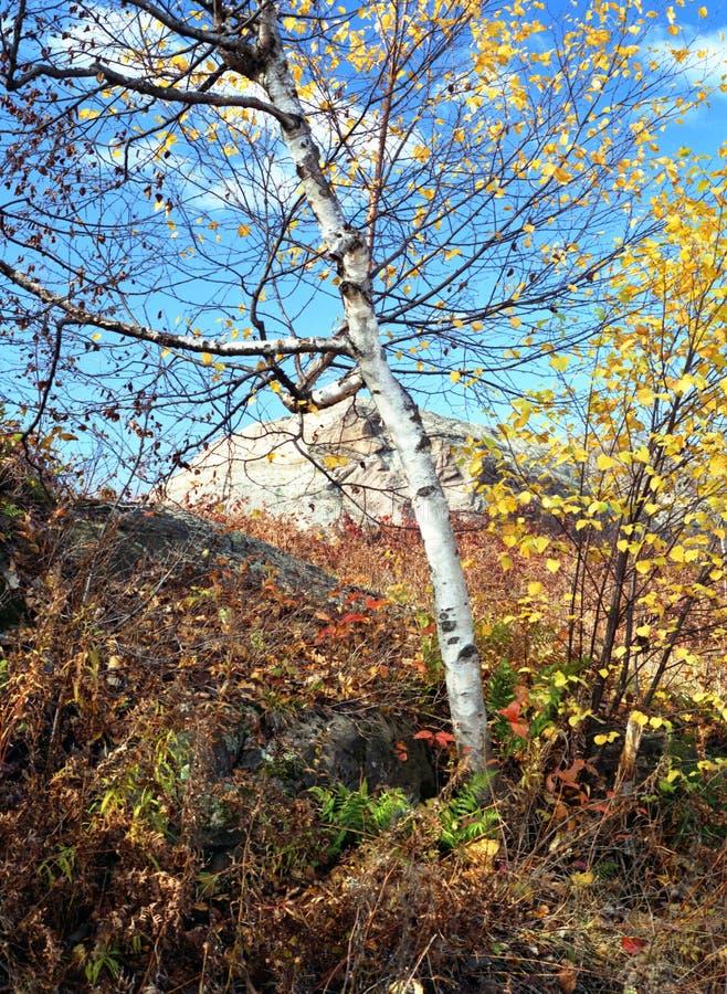 Hillside Bitrch Tree royalty free stock photography