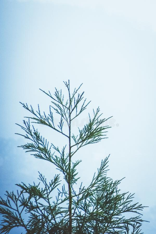 Hillside Blue Spruce tree Picea pungens and distant mountains in the background, winter landscape design with empty copy space royalty free stock image