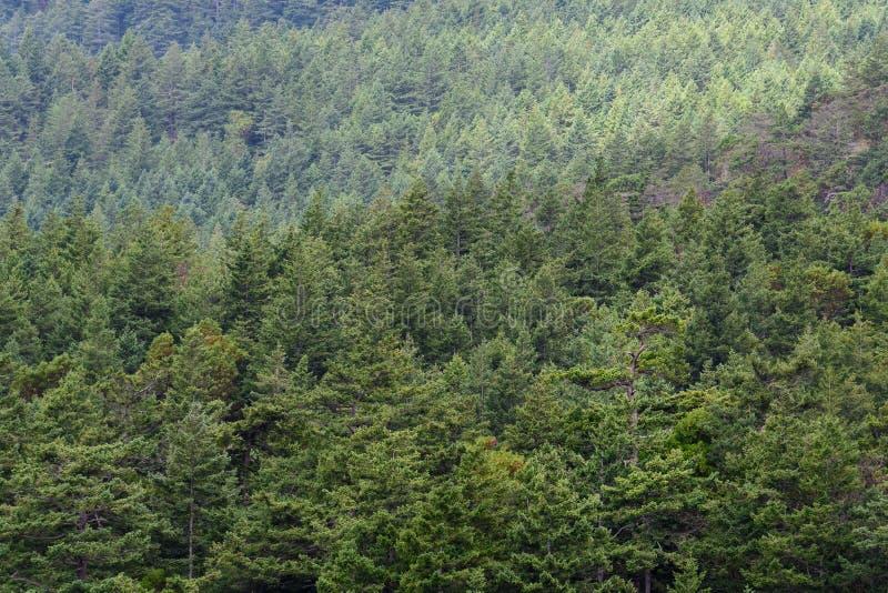 Hillside a couvert dans les arbres à feuilles persistantes comme fond vert de nature photos libres de droits