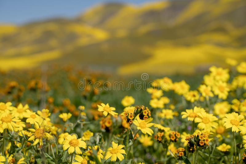 Hillside daisies and fiddleneck wildflowers in foreground with defocused hills of Carrizo Plain National Monument.  royalty free stock images