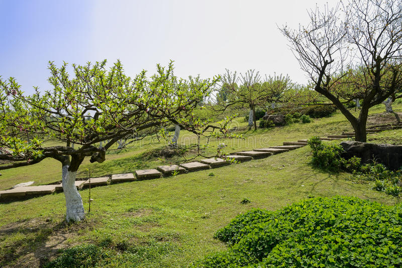 Hillside flagstone path in spring orchard at sunny noon. Chengdu,China royalty free stock images
