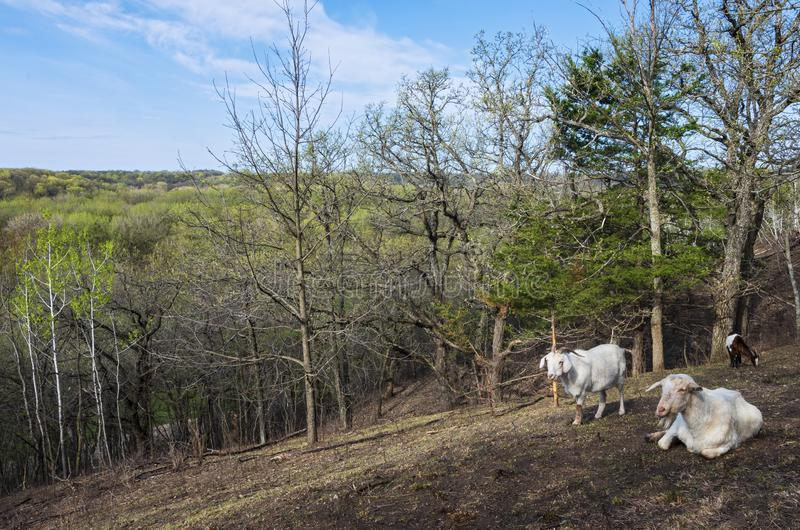 Hillside and Goats Overlooking Woodlands of Flandrau State Park. Atop hills overlooking forests of flandrau state park and goats in foreground in new ulm royalty free stock images