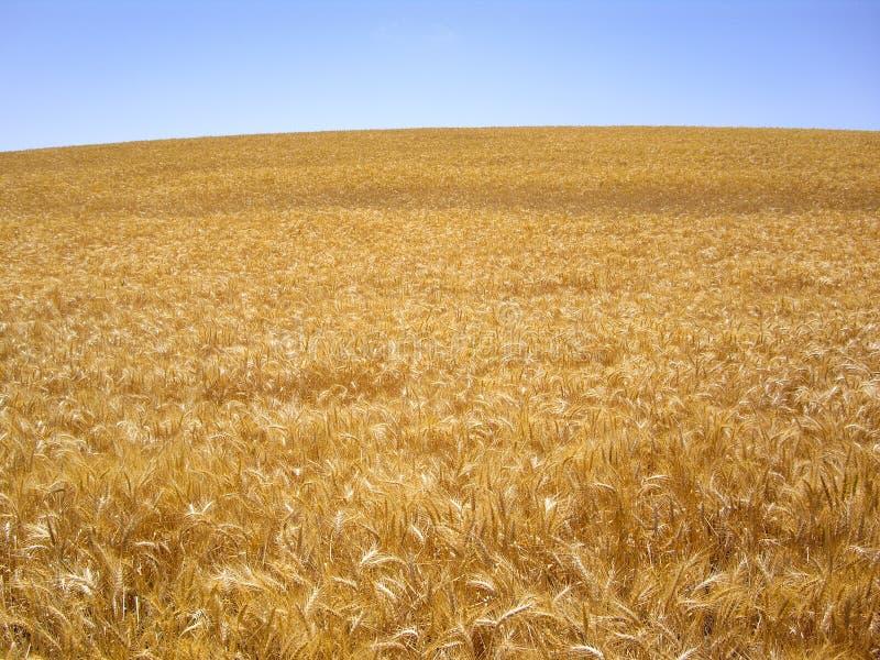 Hillside Of Golden Wheat Stock Photos