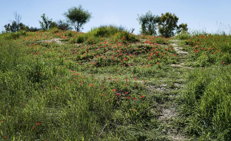 Hillside in the Negev Covered in Red Anemones. A hillside in the ruhama forest in israel covered with red crown anemones and spring grasses with trees in the stock photos