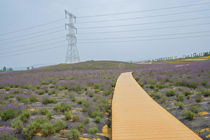 Hillside planked path in lavender field royalty free stock photos
