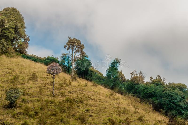 Hillside with tree in the middle. Hillside with tree in warm tones and complementary trees green ecuador royalty free stock photo
