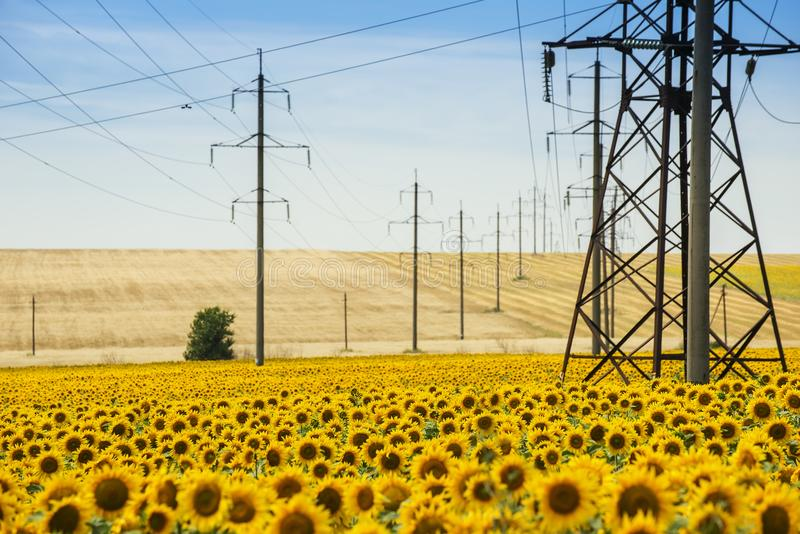 Hilly fields with sunflowers and wheat and power poles. royalty free stock images