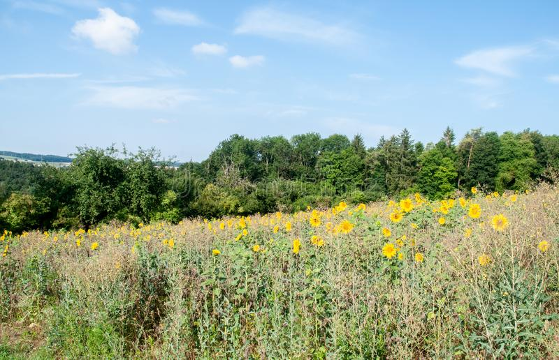 Hilly landscape in swabian alb with sunflowers in meadow. Rural landscape in swabian alb in southern germany with sunflower field and forest on sunny summer day stock photo