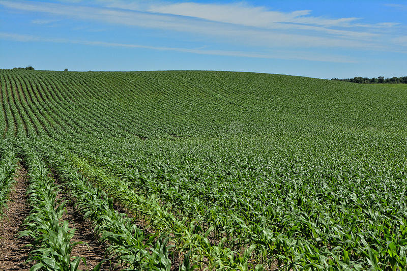 Hilly Rows of Corn stock images