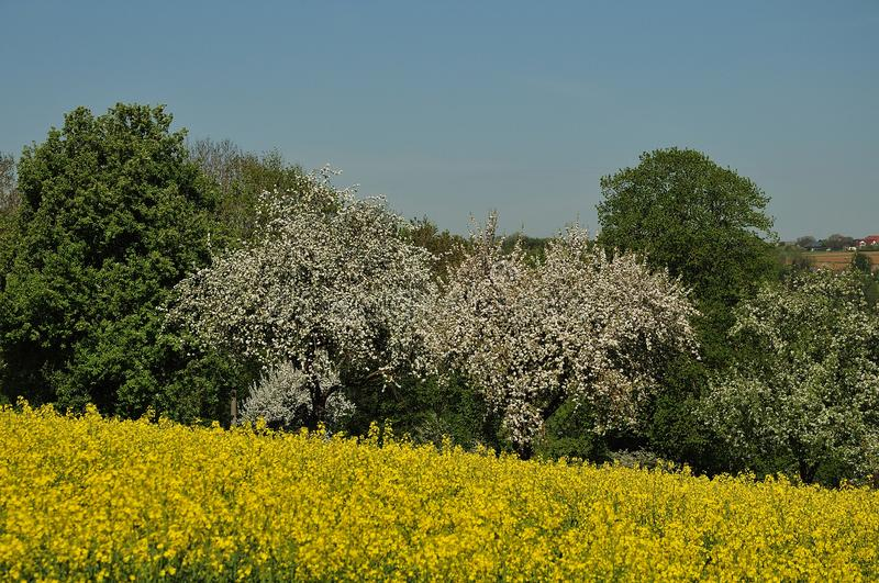 View over rapeseed field to flowering apple trees royalty free stock image