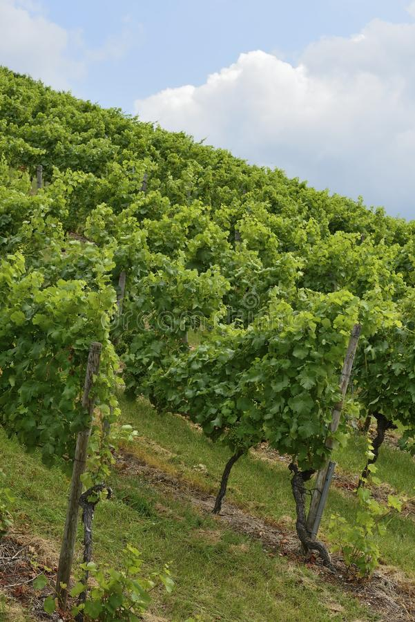 Hilly vineyard #1, Stuttgart royalty free stock image