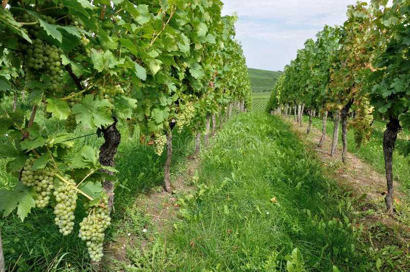 Hilly vineyard #10, baden. Foreshortening of hilly vineyard with multiple lines of plants in a green rustic landscape royalty free stock images