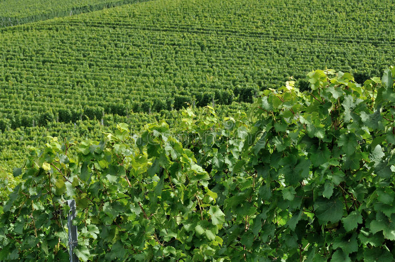 Hilly vineyard #4, baden royalty free stock photography