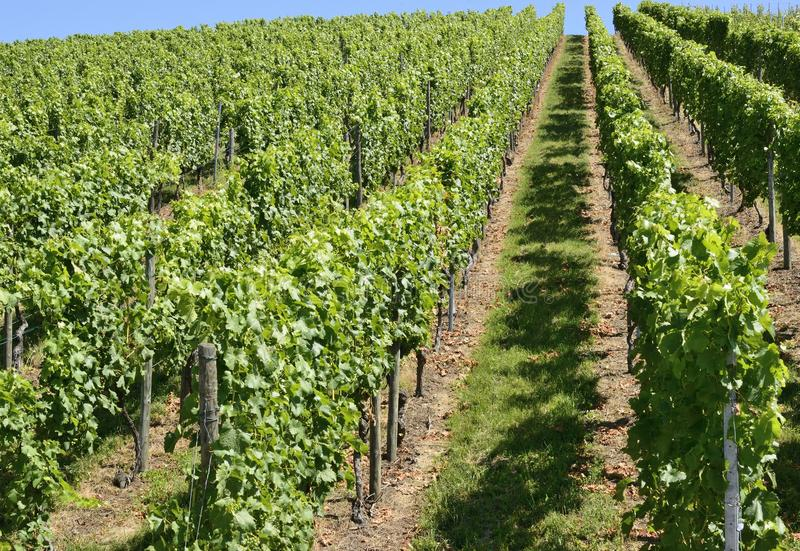 Hilly vineyard #4, Stuttgart royalty free stock photo