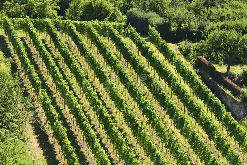 Hilly vineyard #5, Stuttgart royalty free stock photos