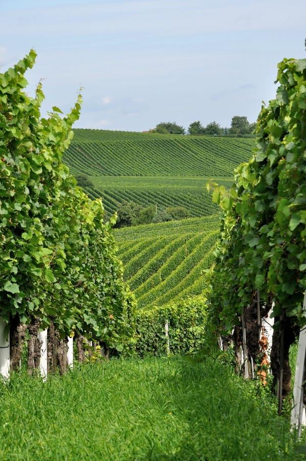 Hilly vineyard #9, baden royalty free stock image