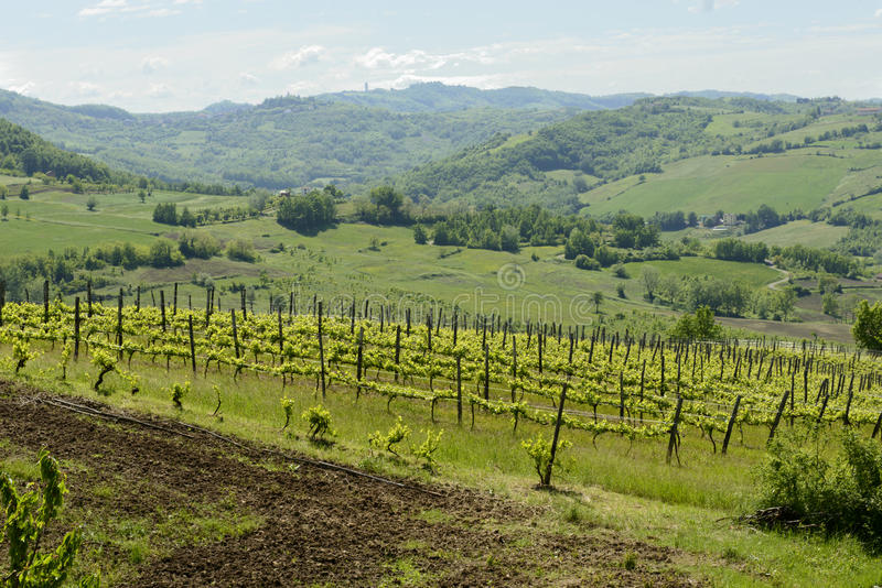 Hilly vineyard in Curone valley, Piedmont, Italy stock images