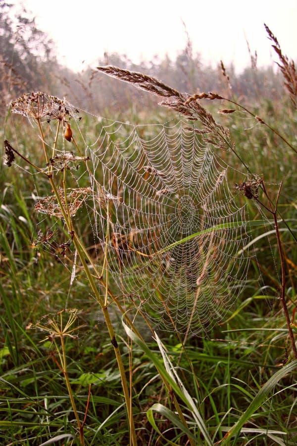 Hilo de araña entre la espiguilla y una cuchilla de la hierba en el fondo de la hierba imágenes de archivo libres de regalías