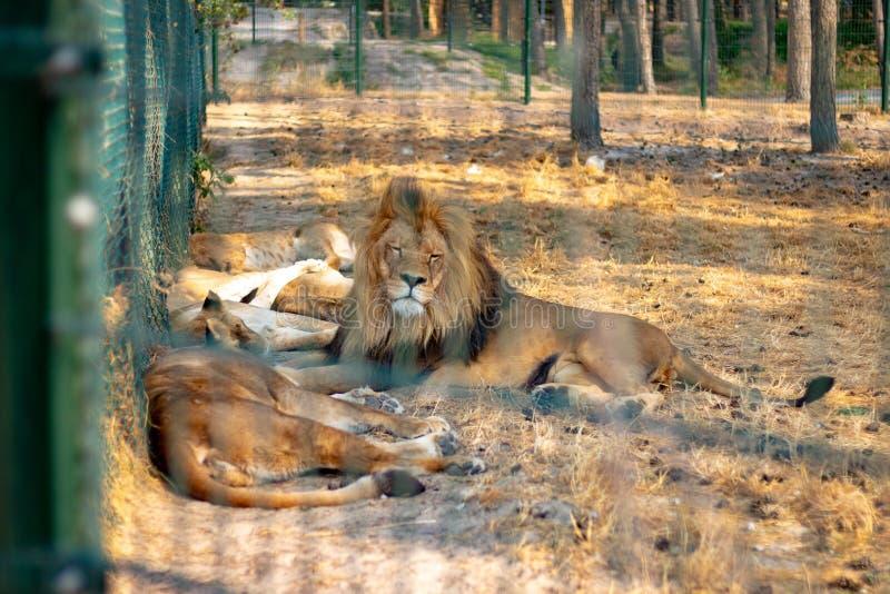 HILVARENBEEK, PAÍSES BAIXOS - 1º DE AGOSTO DE 2018: Os leões estão descansando sobre fotografia de stock