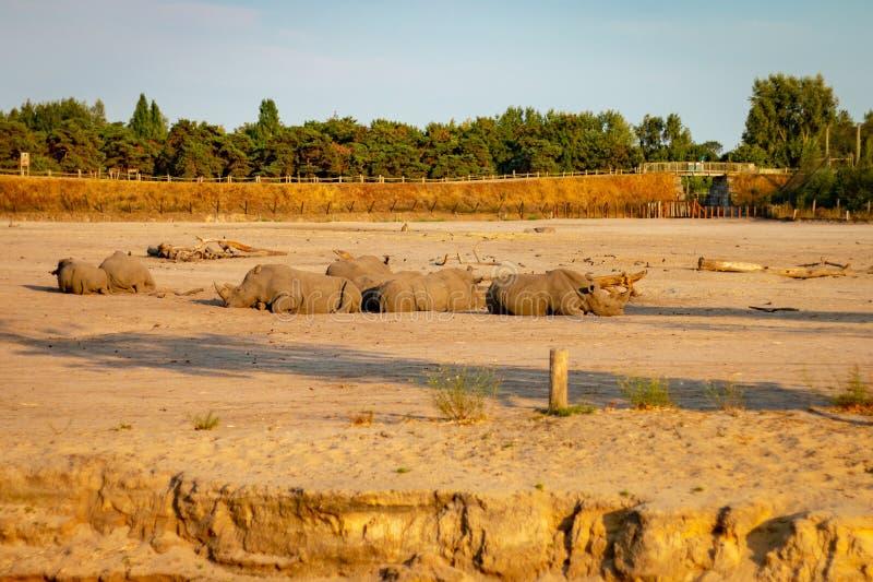 HILVARENBEEK, PAESI BASSI - 1° AGOSTO 2018: I rinoceronti stanno riposando l'AG fotografia stock libera da diritti