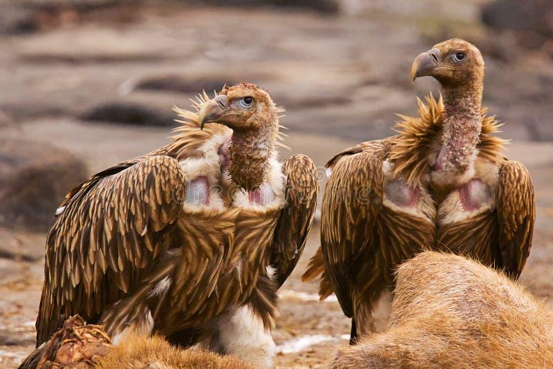 Himalaja-Griffon Vulture, Gyps himalayensis, Panna Tiger Reserve, Rajasthan lizenzfreie stockfotos