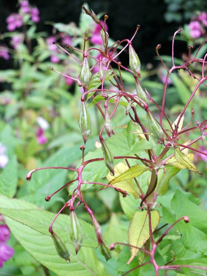 Himalajabalsam Blumen und seedpods, die im Sumpfgebiet nahe einem Fluss mit Regentropfen wachsen stockfotos