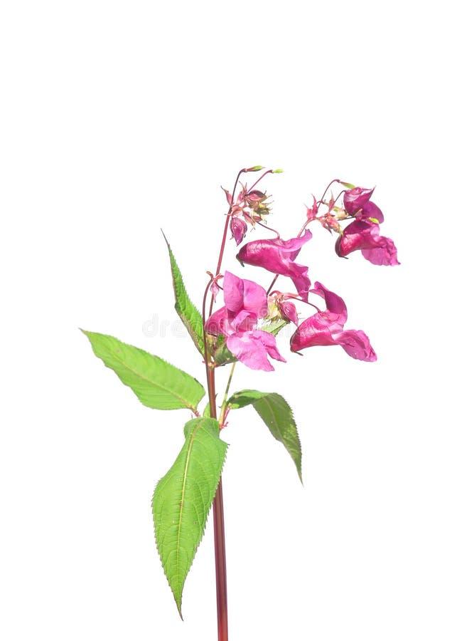 Himalajabalsam Impatiens-glandulifera lizenzfreies stockbild