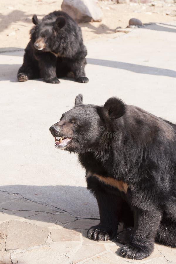 Himalajscy niedźwiedzie fotografia stock