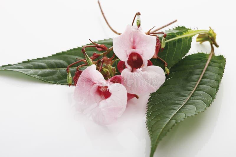 Himalajski balsam obraz stock
