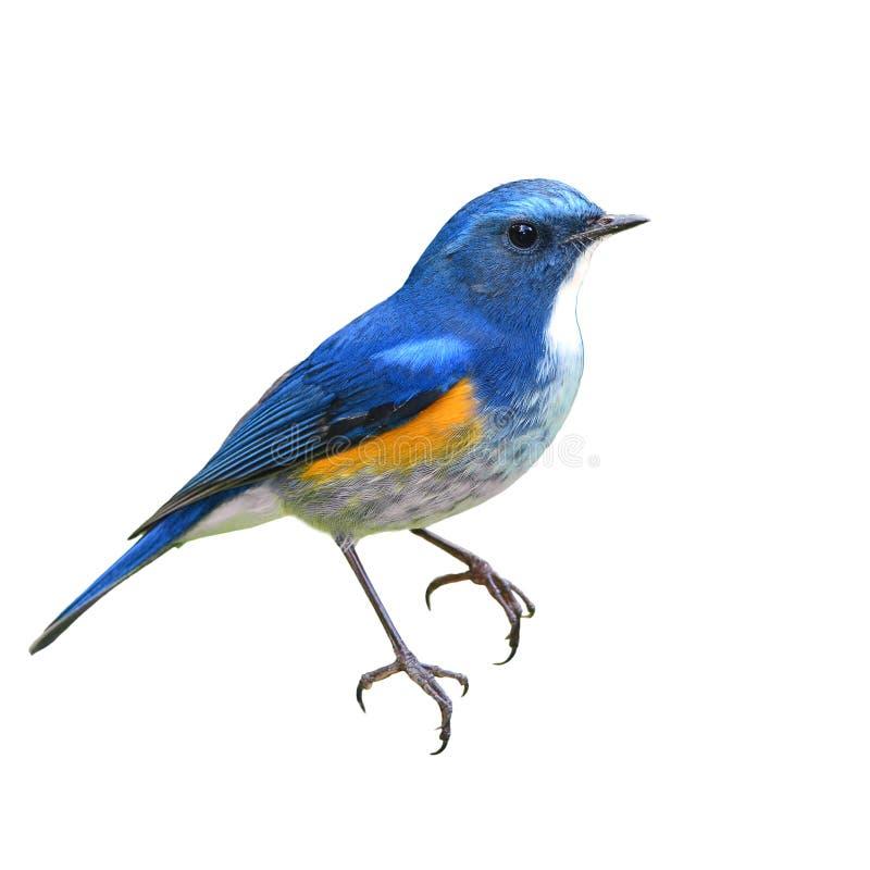Himalajski Bluetail ptak zdjęcie royalty free