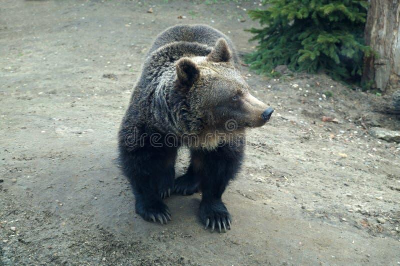 Himalajski niedźwiedź, tęsk pazury, prawie czarny futerkowy czarny niedźwiedź obraz stock
