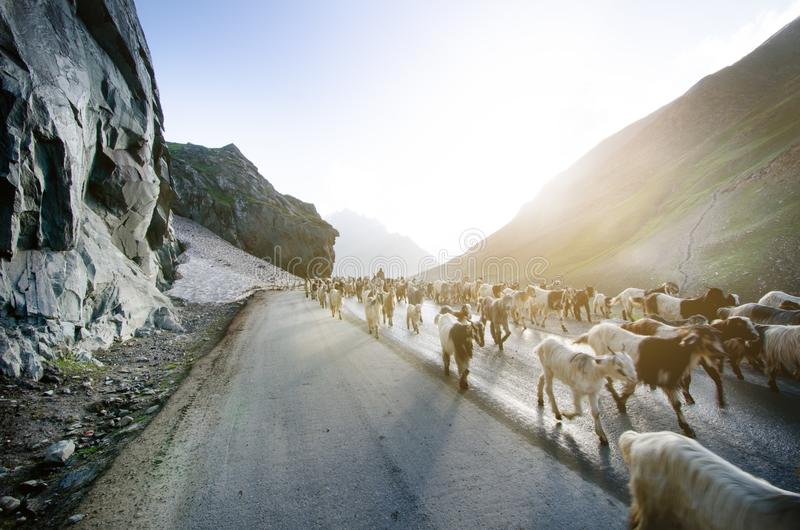 Himalaya naturaleza y animales en el camino Montañas indias Cabras y ovejas que van una cruz el camino y los coches que los esper fotografía de archivo