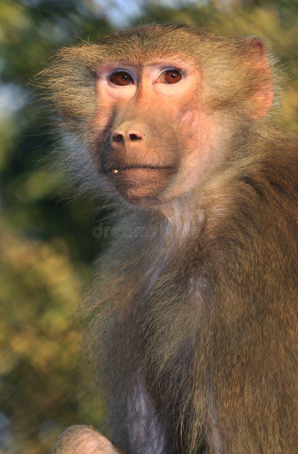 himalayan обезьяна стоковая фотография