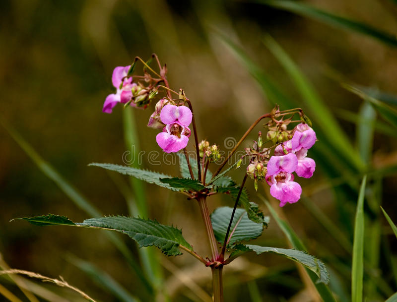 Himalayan Balsam. Introduced and invasive Himalayan Balsam wild flower growing along river bank in southern England royalty free stock photos