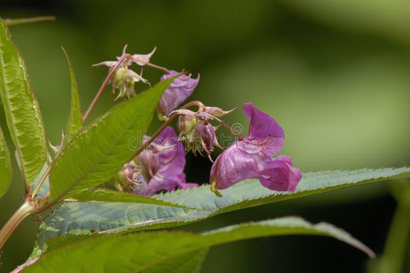 Himalayan Balsam. Impatiens glandulifera Invasive riverside plant stock photography