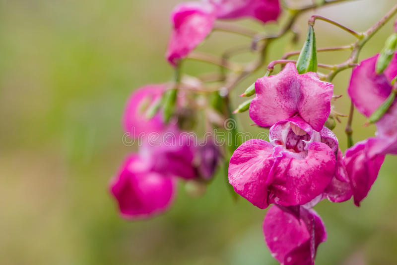Himalayan Balsam. Or policeman's (Impatiens glandulifera) helmet in full pink bloom stock photo