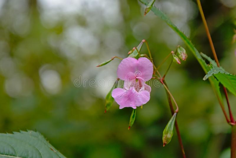 Himalayan balsamblomma för ljus lila - Impatiens glandulifera royaltyfri foto