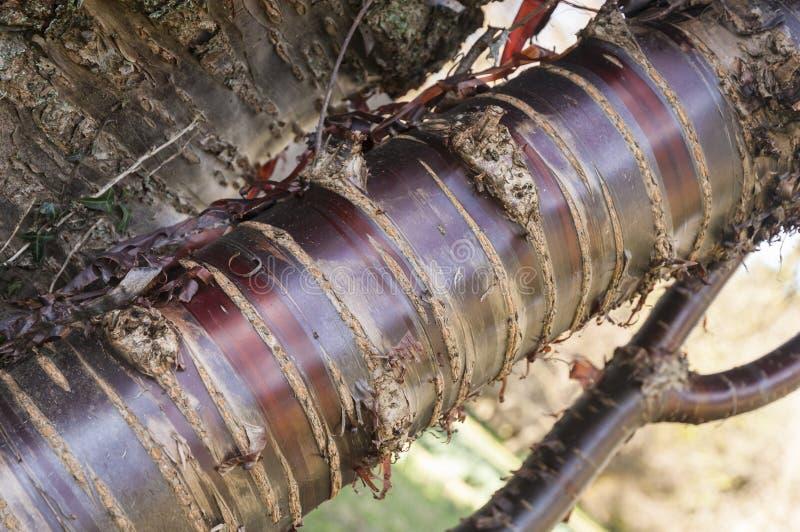 Himalayan birch bark cherry tree royalty free stock photos