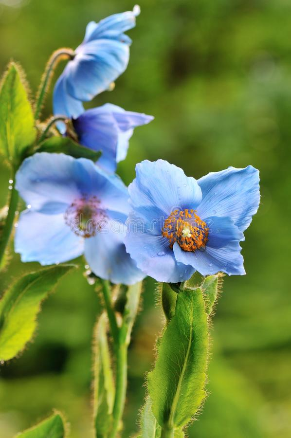 Himalayan blue poppy. Flower, in naturalized garden royalty free stock images