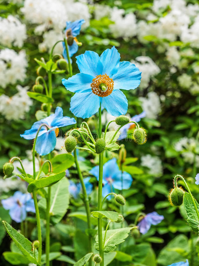 Himalayan blue poppy stock photography