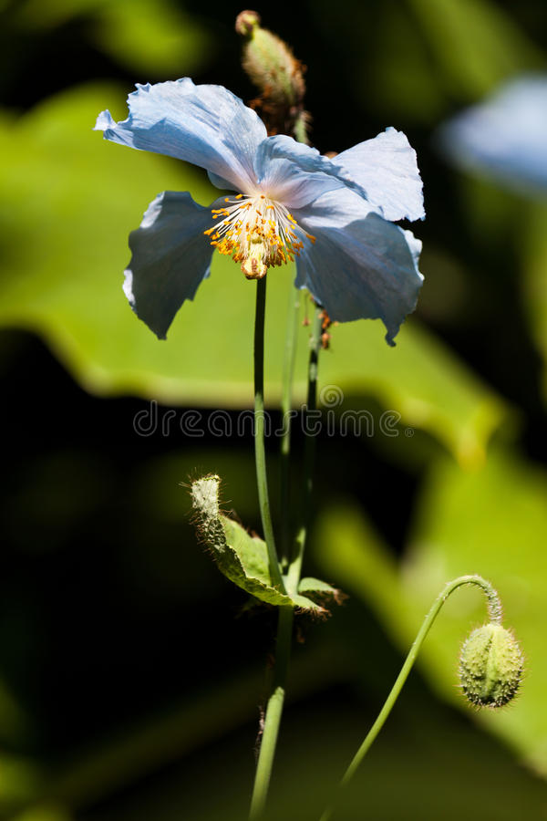 Himalayan Blue Poppy royalty free stock image